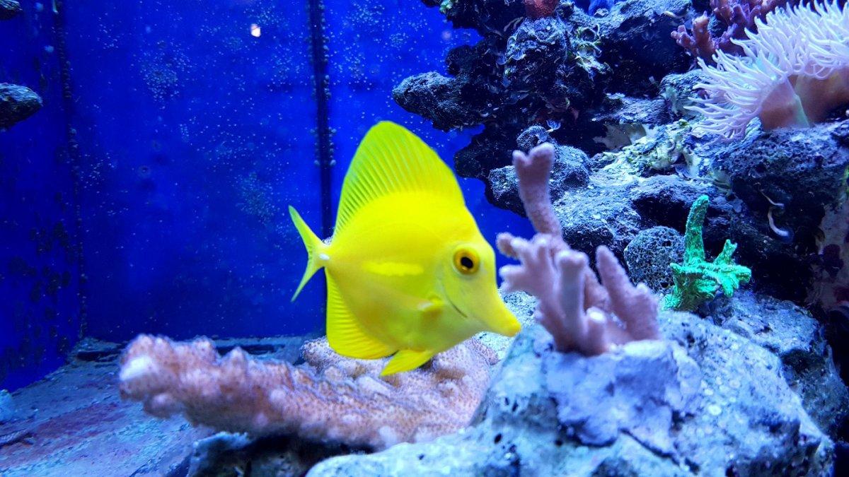 Yellow Zebrasoma.jpg