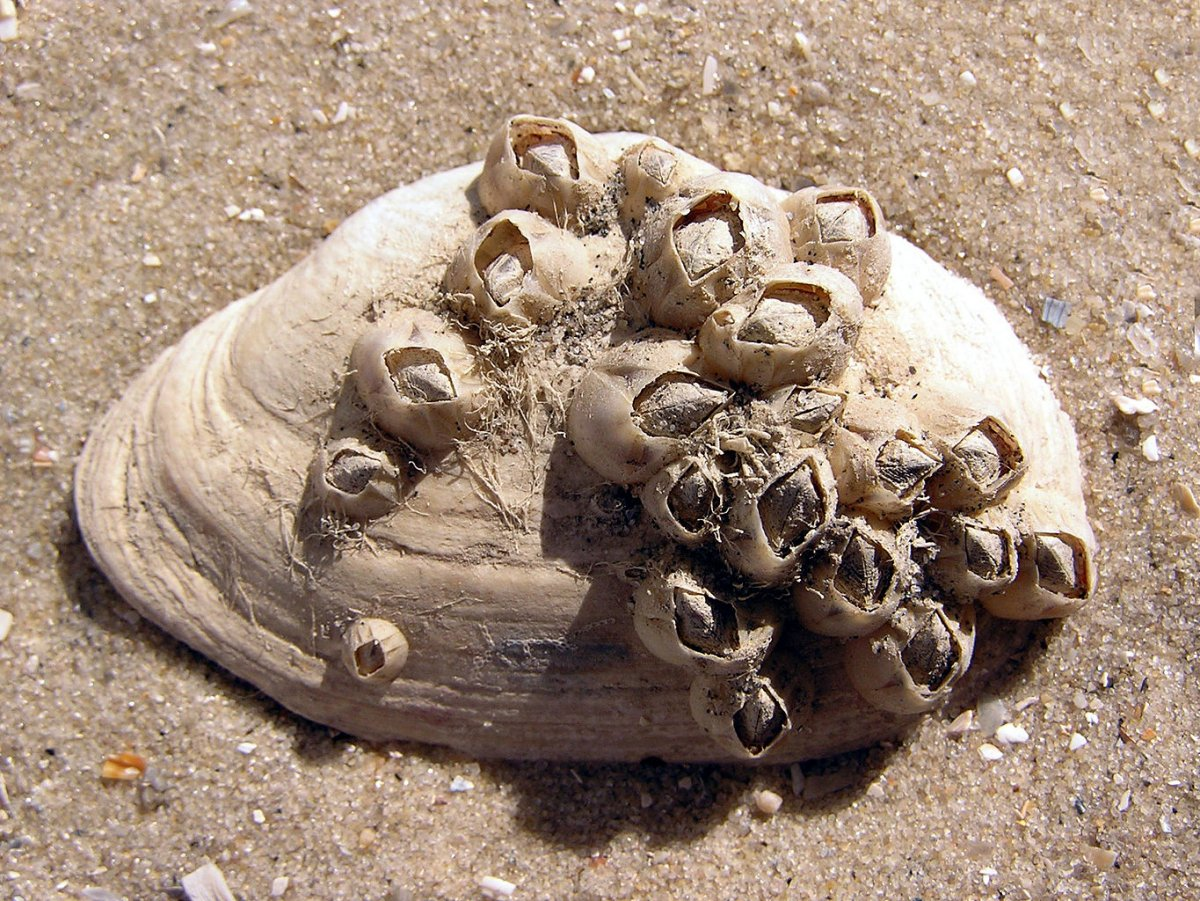 Balanus_improvisus_on_Mya_arenaria_shell.jpg