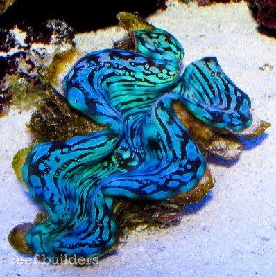 blue-squamosa-tridacna-clam-1.jpg