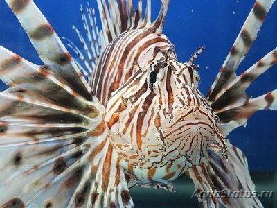 1398264426_lion-fish-1.jpg