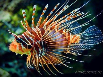 1439920188_lion-fish.jpg