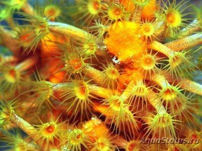 1454684887_parazoanthus-4.jpg