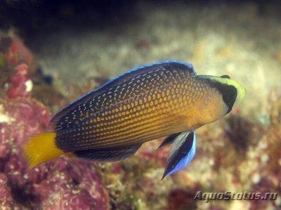 1488304926_pseudochromis-splendens-2.jpg