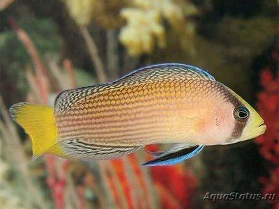 1488304928_pseudochromis-splendens-1.jpg