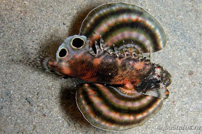 1537px-Dendrochirus_biocellatus1.JPG.jpg