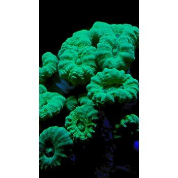 Caulestrea green metallic-350x350.jpeg