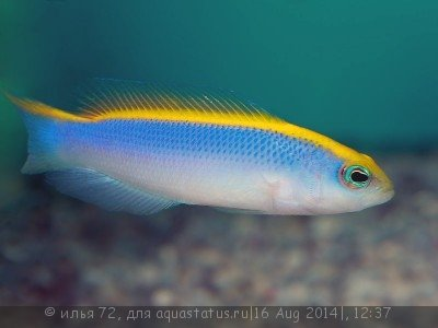 Pseudochromis flavivertex.jpg