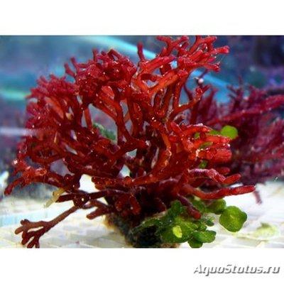 Caulerpa_racemosa-500x500 (1).jpg
