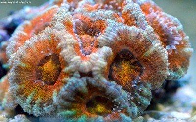 Acanthastrea_lordhowensis-154-1280x800.jpg