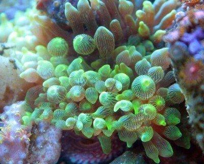 Entacmaea-quadricolor-2.jpg
