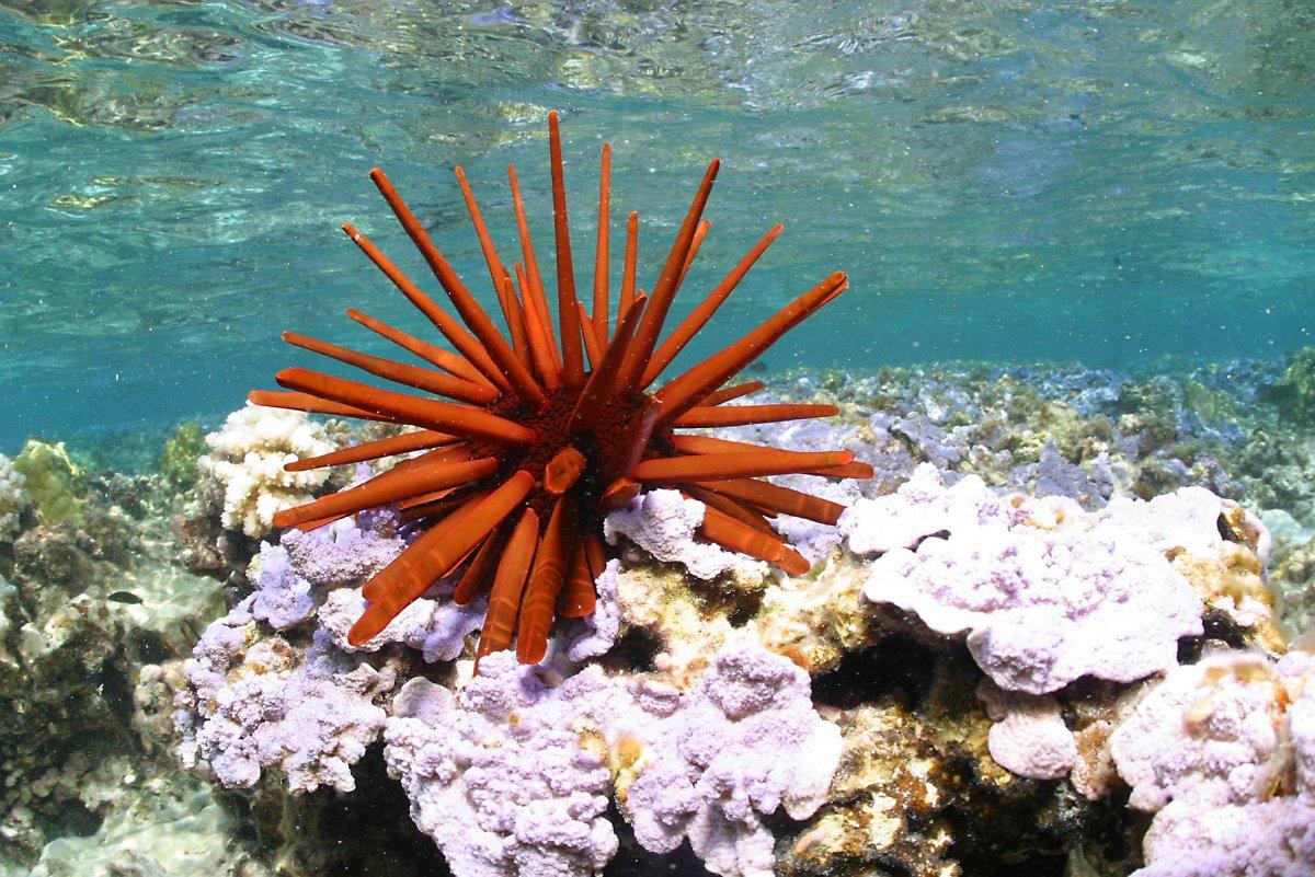 Red_pencil_urchin_-_Papahānaumokuākea.jpg