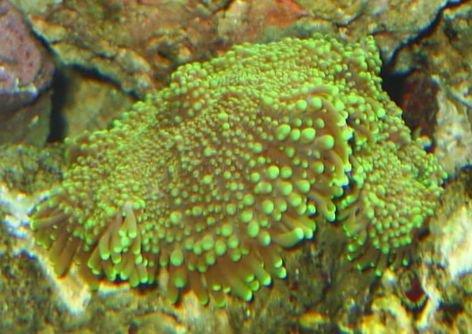 coral_ricordea_mushroom_63_225.jpg