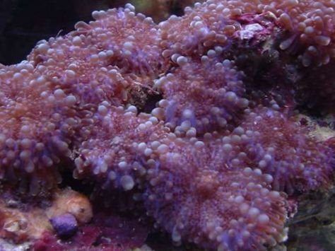 coral_ricordea_mushroom_63_226.jpg