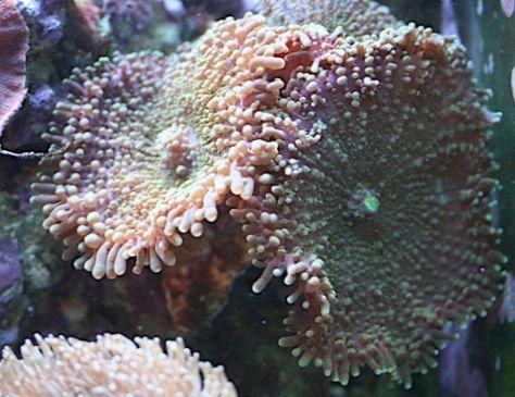 coral_ricordea_mushroom_63_229.jpg