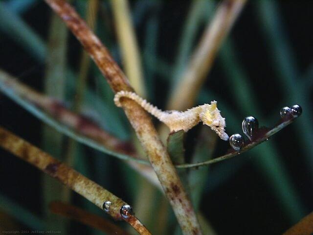 1489342345_hippocampus-zosterae-4.jpg