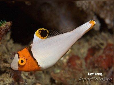 1536147459_cetoscarus-bicolor-2.jpg