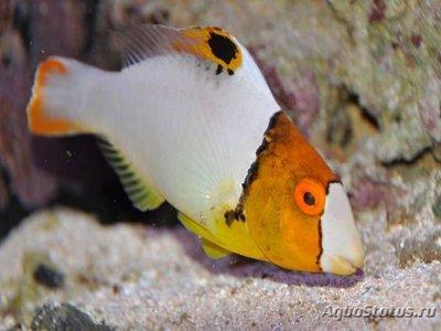 1536147473_cetoscarus-bicolor-1.jpg