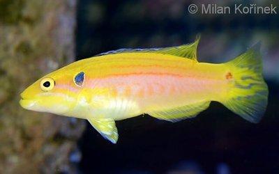 1461231632_bodianus-bimaculatus-4 (1).jpg