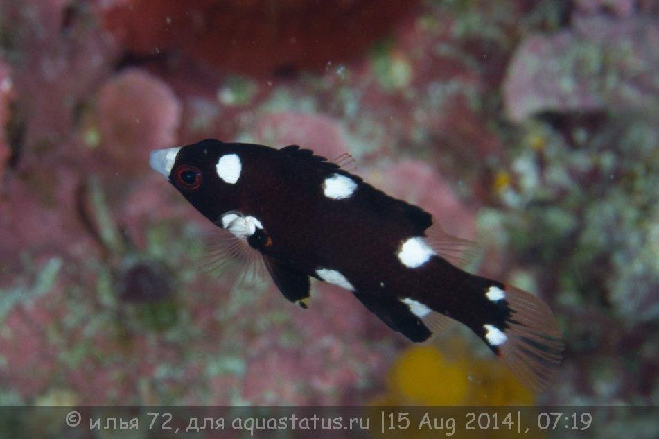 Bodianus axillaris.jpg