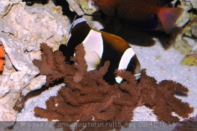 Amphiprion latezonatus.jpg
