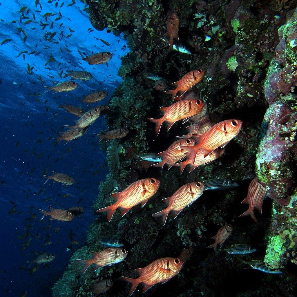 1024px-School_of_Blotcheye_Soldierfish _Myripristis_murdjan_(35825127363).jpg