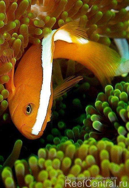 Skunk-clownfish-10.jpg