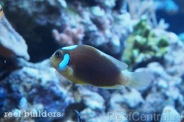 ora-white-cap-leucokranos-clownfish-1.jpg