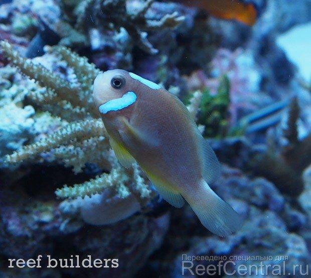 ora-white-cap-leucokranos-clownfish-2.jpg