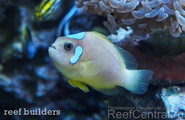 ora-white-cap-leucokranos-clownfish-4.jpg