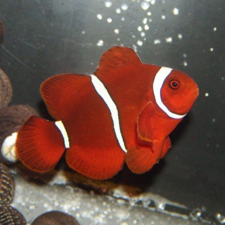 premnas-biaculeatus-mavritanskij-kloun.jpg