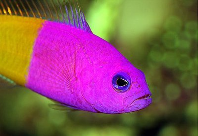 1418217714_pseudochromis-paccagnellae-2.jpg