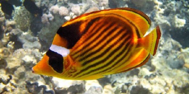 Chaetodon_fasciatus_6-660x330.jpg