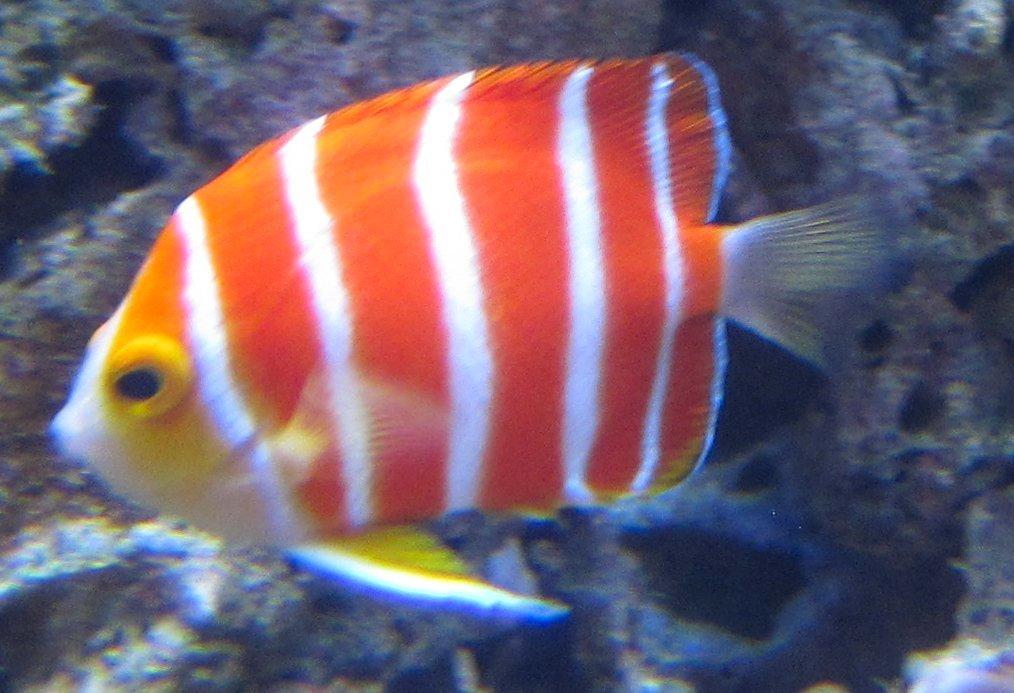 Peppermint_Angelfish_(Paracentropyge_boylei) _Waikiki_Acquarium.JPG(2).jpg