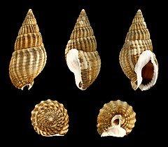 240px-Tritia_reticulata.jpg