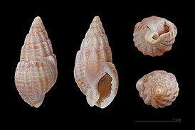 274px-Nassarius_reticulatus_MHNT.jpg