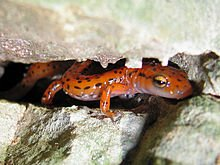 Cave_Salamander_(Eurycea_lucifuga)01.jpg
