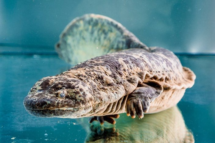 chinese_giant_salamander_hidden_extinction_1_703.jpg