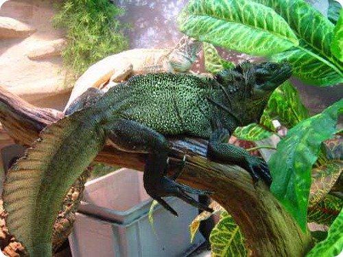 hydrosaurus6.jpg