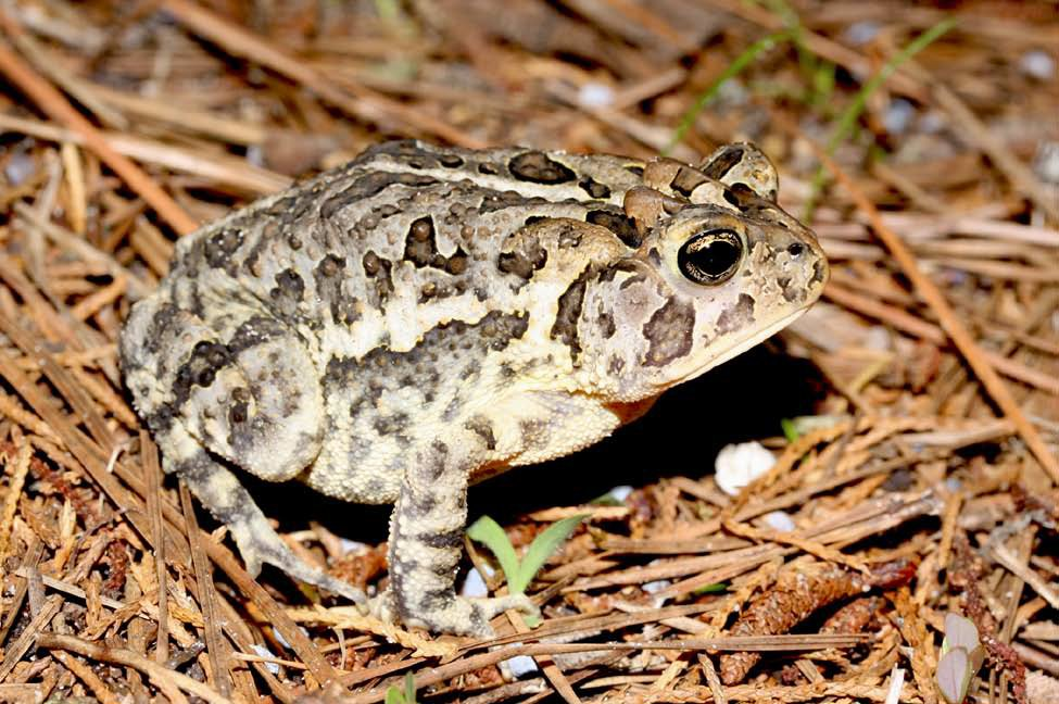 southern-toad-light-krysko.jpg