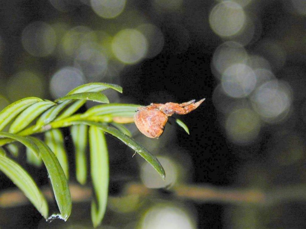 Hyptiotes-paradohus-002-1024x768.jpg