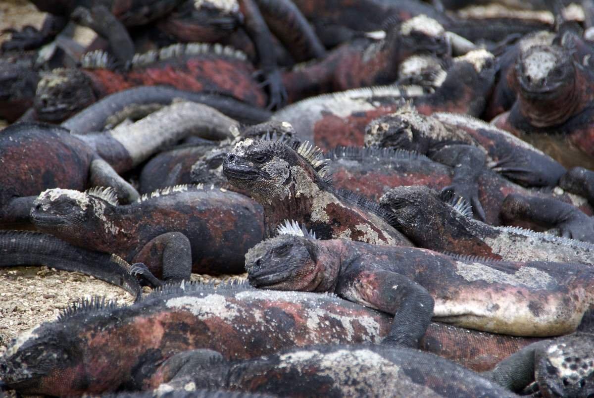morskaja-iguana-neobychnyj-obitatel-galapagoss-animal-reader.ru-001.jpg