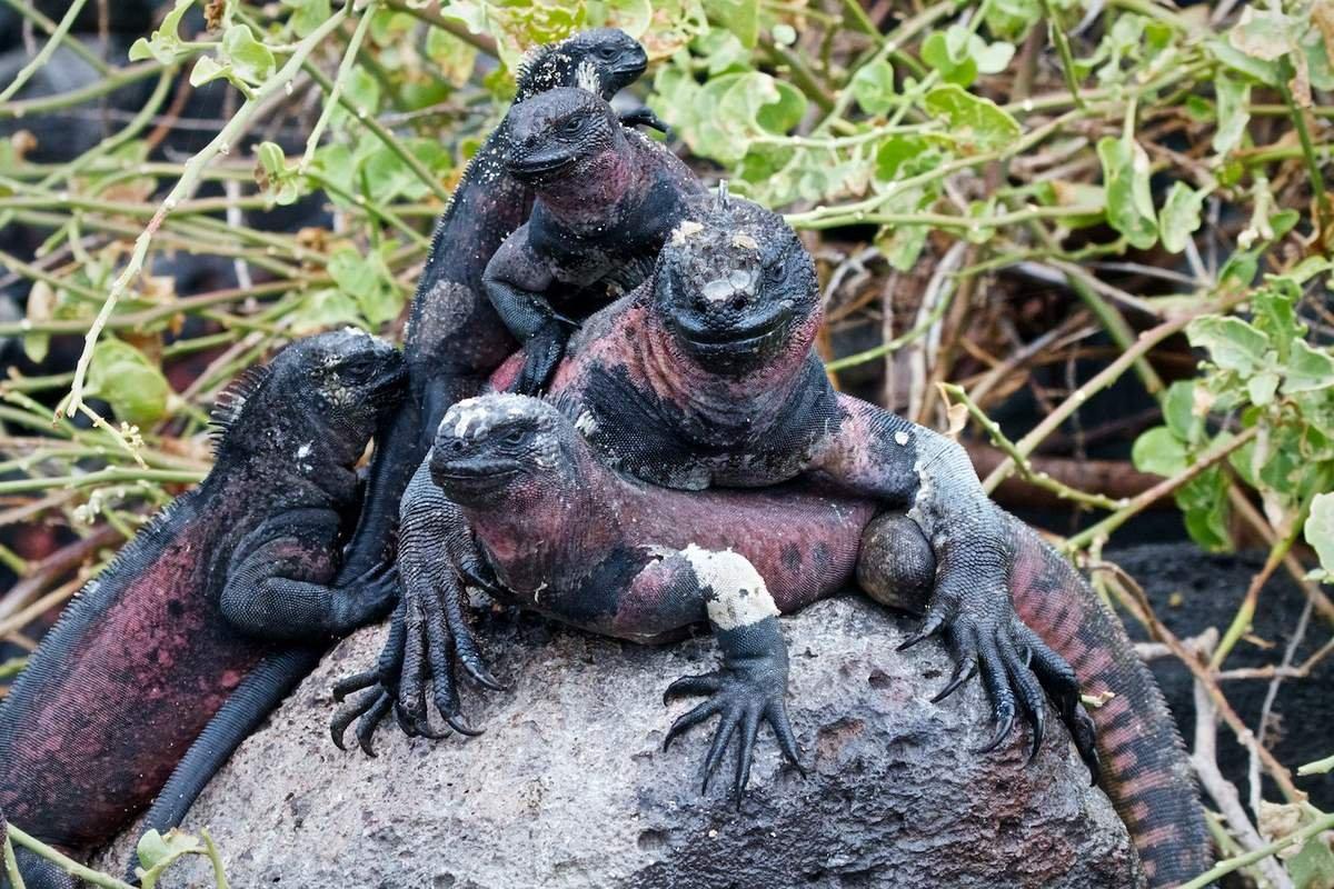 morskaja-iguana-neobychnyj-obitatel-galapagoss-animal-reader.ru-005.jpg