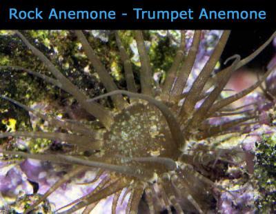 Rock_Anemone___Trumpet_Anemone________________.jpg