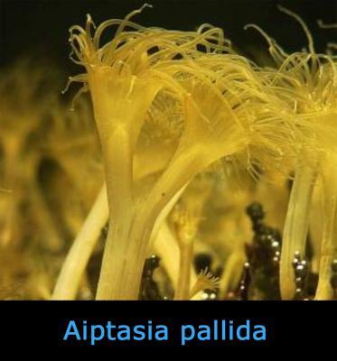 Aiptasia_pallida___________.jpg