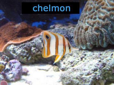 chelmon1___________.jpg