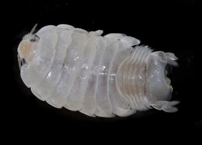Isopod1.jpg