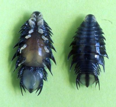 Isopod8.jpg
