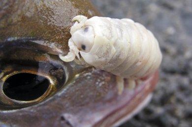 Isopod11.jpg