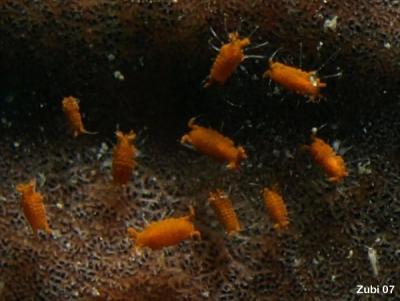 Isopod39.jpg