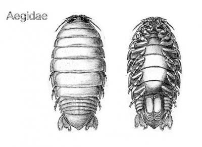 Isopod28_3.jpg
